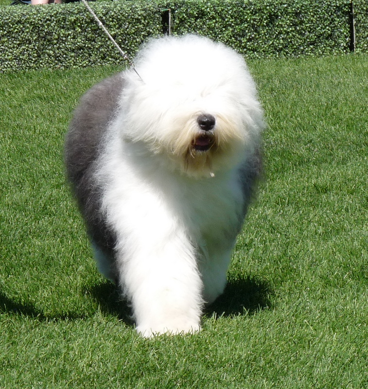 picture of English Sheepdog