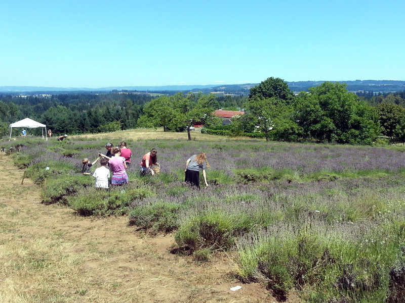 The expedition to the lavender farm