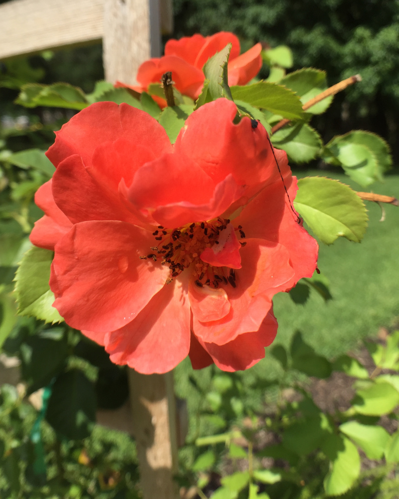 pikcture of red climbing rose blossom