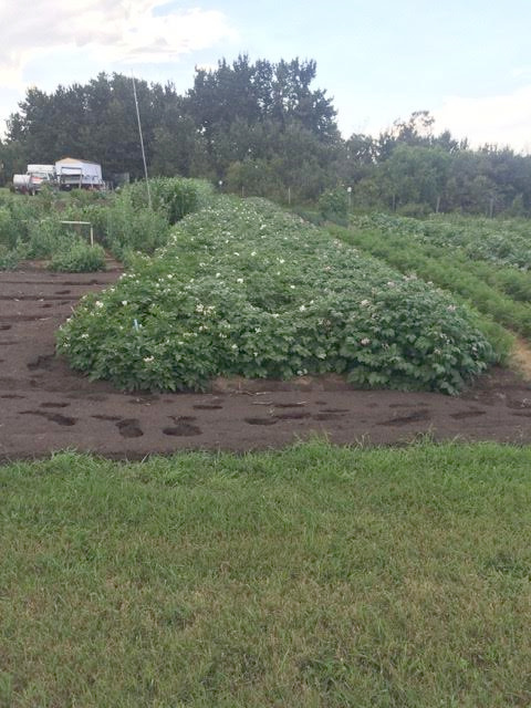 picture of potato plants
